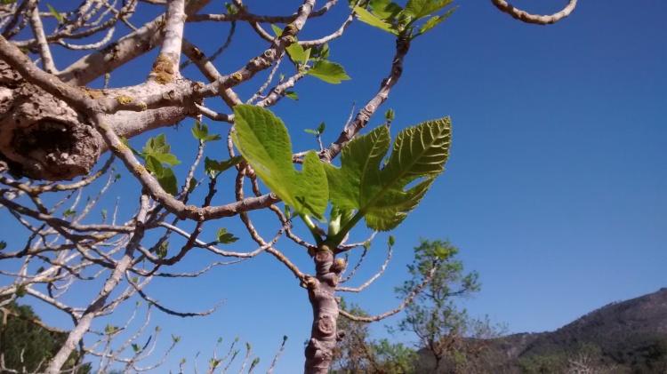 Fig tree, Ibiza